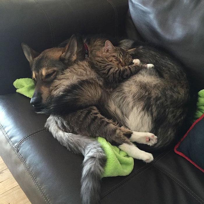 husky-dog-picks-shelter-cat-friendship-raven-woodhouse-christina-2