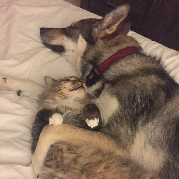 husky-dog-picks-shelter-cat-friendship-raven-woodhouse-christina-20
