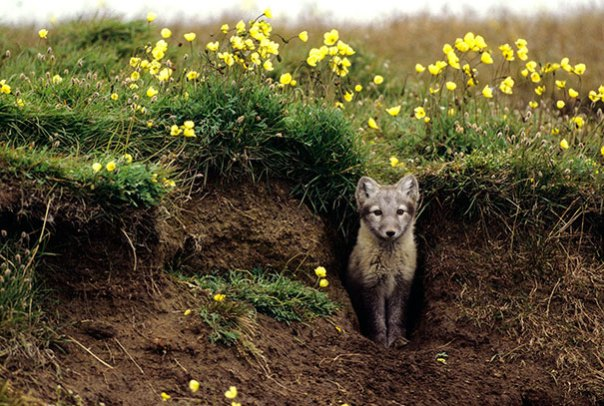 Arctic-zorros-crecer-jardín-alaska-2