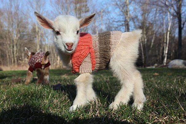 newborn goats wearing hand-knitted sweaters
