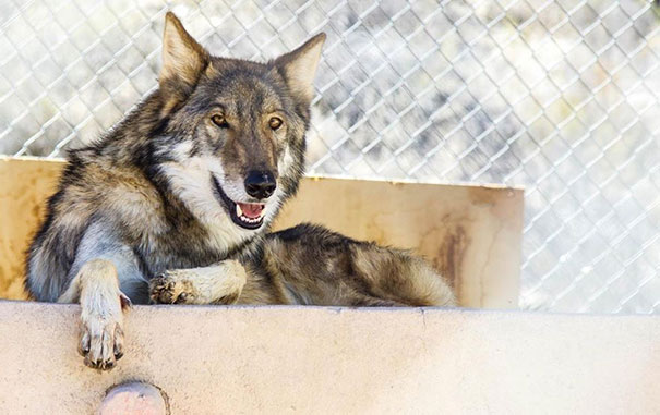 not-puppy-dog-wolf-9