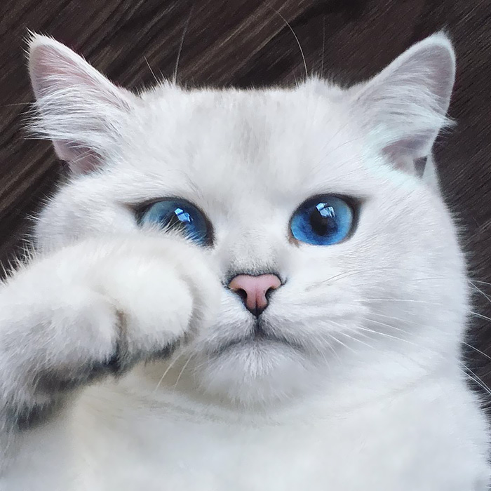 worlds most beautiful cats 1 57fb53b6755fc  700 - 10+ Of The Most Beautiful Cats In The World