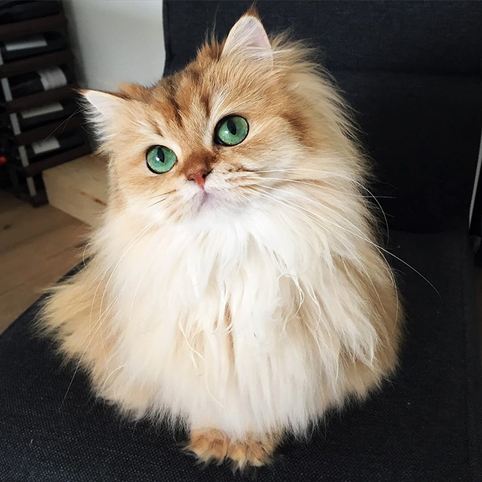 worlds most beautiful cats 3 57fb53b8a6127  700 - 10+ Of The Most Beautiful Cats In The World