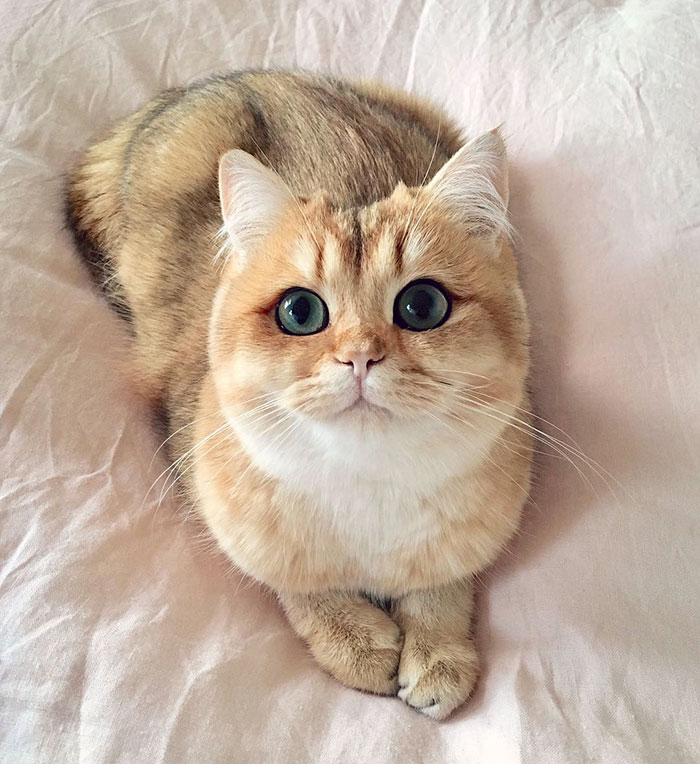 worlds most beautiful cats 31 57fb9b12e526b  700 - 10+ Of The Most Beautiful Cats In The World