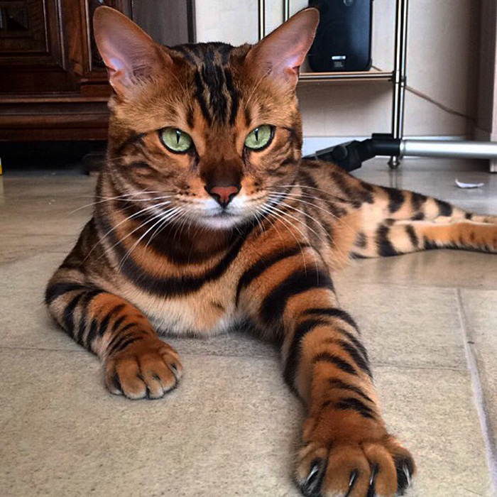 worlds most beautiful cats 47 57fc93324976e  700 - 10+ Of The Most Beautiful Cats In The World