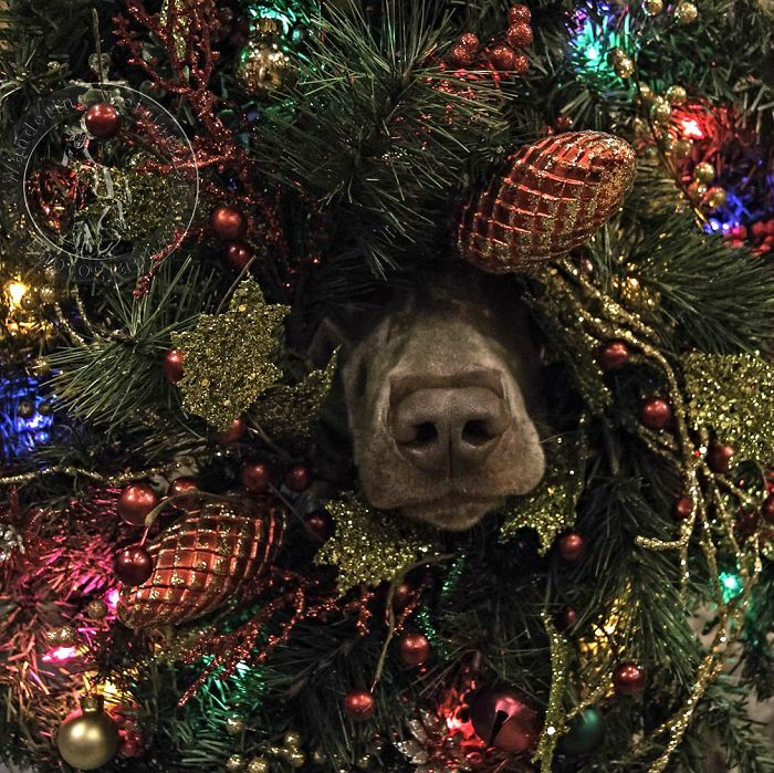 """On The First Day Of Christmas My True Love Said To Me """"The Dog Is Inside Our Tree"""""""
