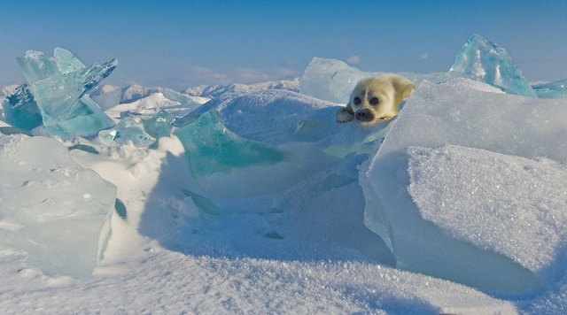 cute-baby-seal-waves-photographer-alexy-trofimov-russia-03a