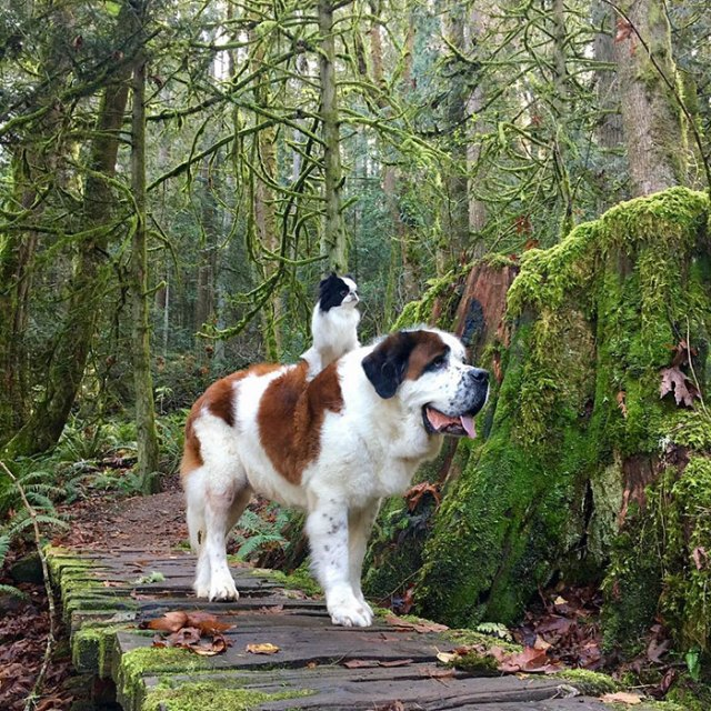 giant-saint-bernard-carries-tiny-dog-blizzard-lulu-david-mazzarella-10
