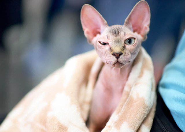 shaved-kittens-sold-sphynx-cats-5