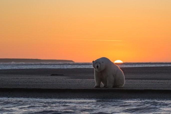 polar-bears-no-snow-photography-patty-waymire-alaska-1