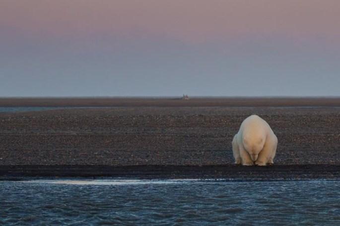 polar-bears-no-snow-photography-patty-waymire-alaska-2