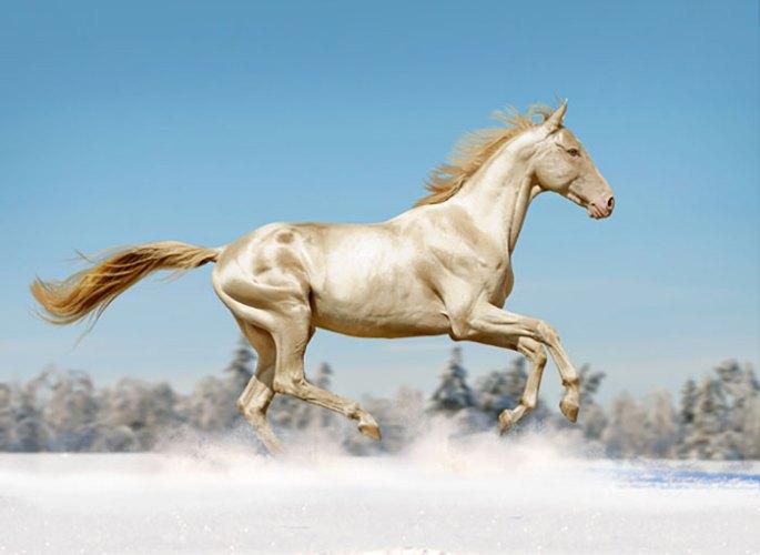 beautiful-horse-shiny-blonde-hair-akhal-teke-8