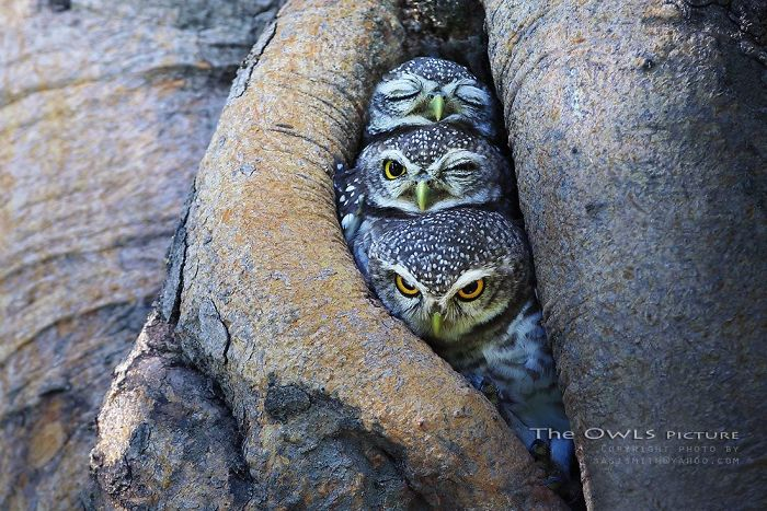 The Pop Trio Owls