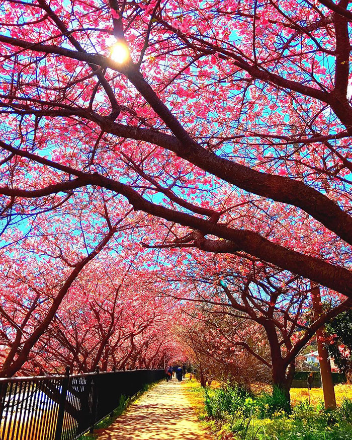 kawazu-cherry-blossoms-shizuoka-japan-3