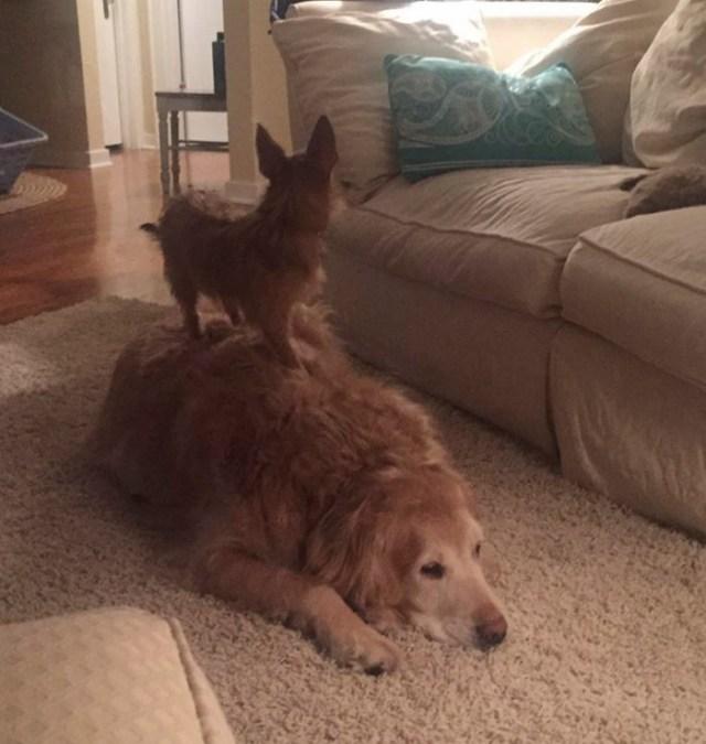 dog-climbs-big-friend-bella-hank-adriana-burkhart-3