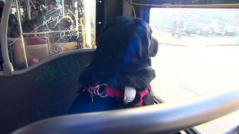 Fotos, Curiosidades, Comunicação, Jornalismo, Marketing, Propaganda, Mídia Interessante dog-rides-bus-seattle-eclipse-5948d57d296ed__700 Cachorro pega todos os dias ônibus para ir ao parque Cotidiano Curiosidades  cachorro pega onibus