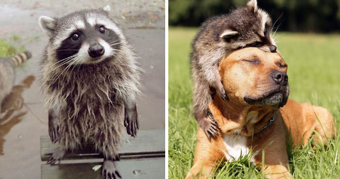 86 Trash Panda Pics That Prove They Re The Cutest Animal In The