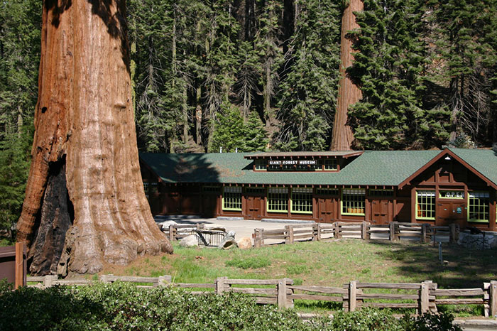 giant-sequoia-tree-mayor-revenge-story-10