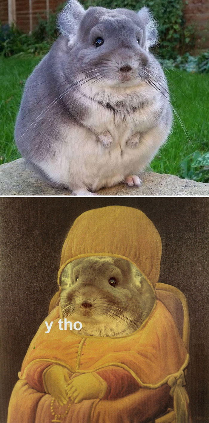 Chinchilla With Thick Coat Of Fur