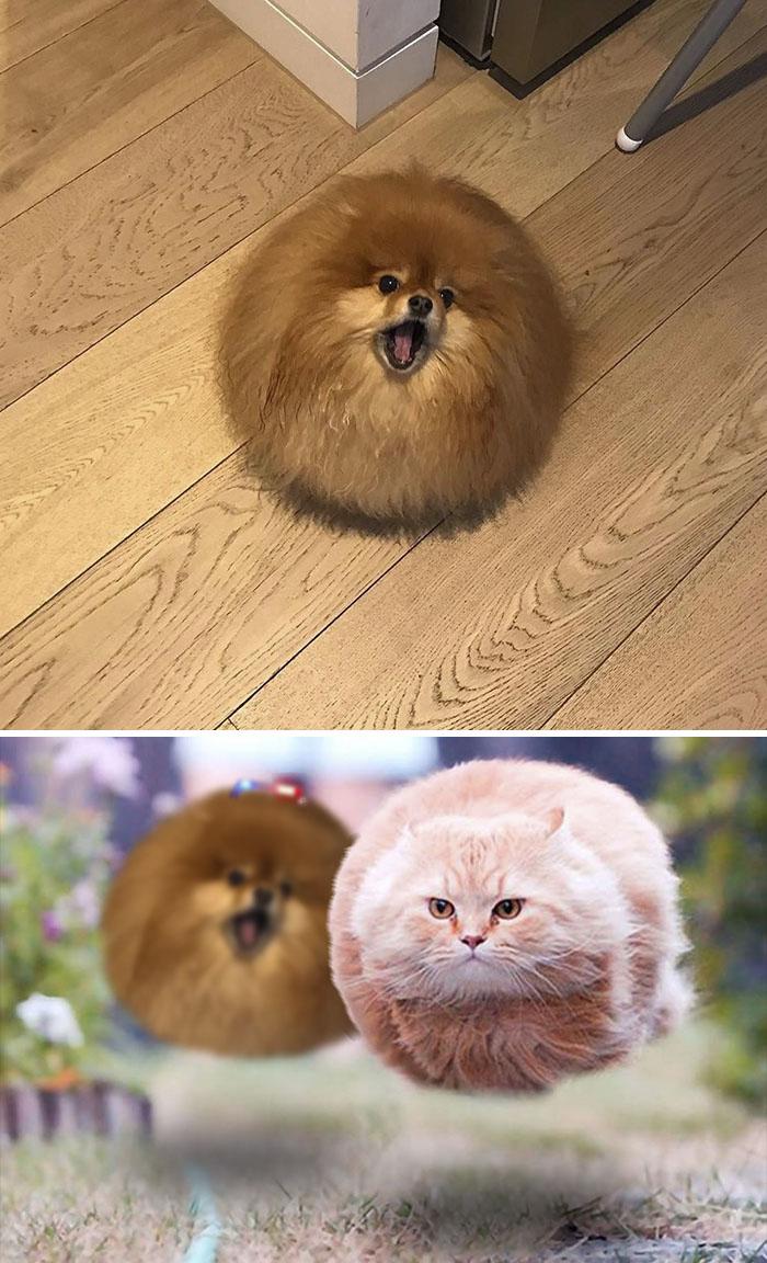 This Floofy Pom-pomeranian