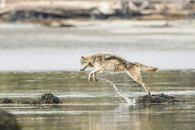 swimming sea wolves pacific coast canada ian mcallister 11 - National Geographic: Lobos do mar