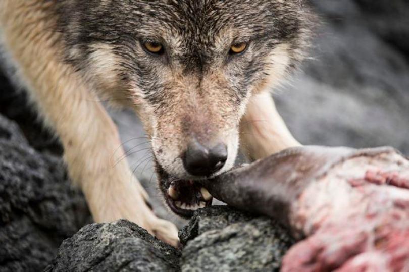 swimming sea wolves pacific coast canada ian mcallister 12 - National Geographic: Lobos do mar