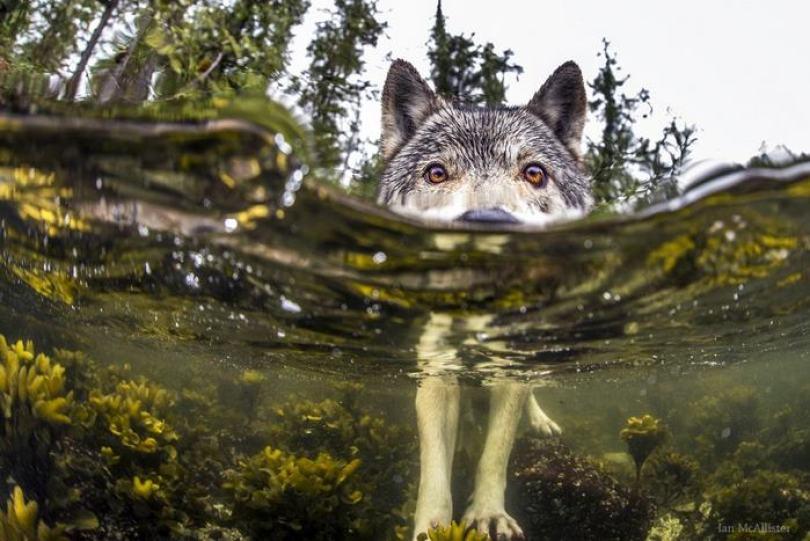Natação-mar-lobos-pacífico-costa-canada-ian-mcallister-5