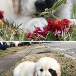 210 Times Golden Retriever Puppies Were The Purest Thing In The World Bored Panda