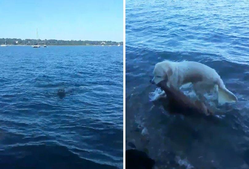 Cão-salva-afogando-baby-deer-storm-8