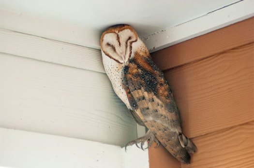 Sleepy Barn Owl Finds Camouflage On My Back Porch