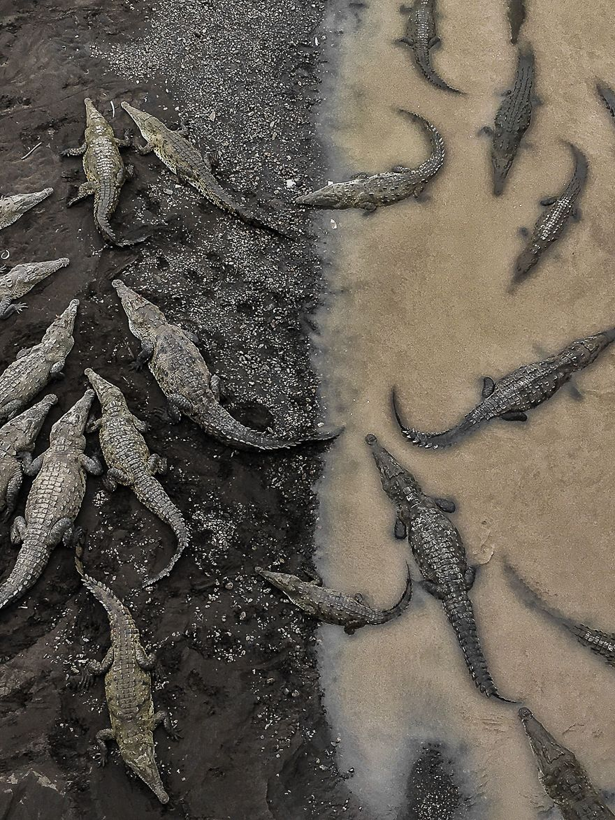 Third Place Winner, Nature: Crocodiles At Rio Tarcoles, Costa Rica