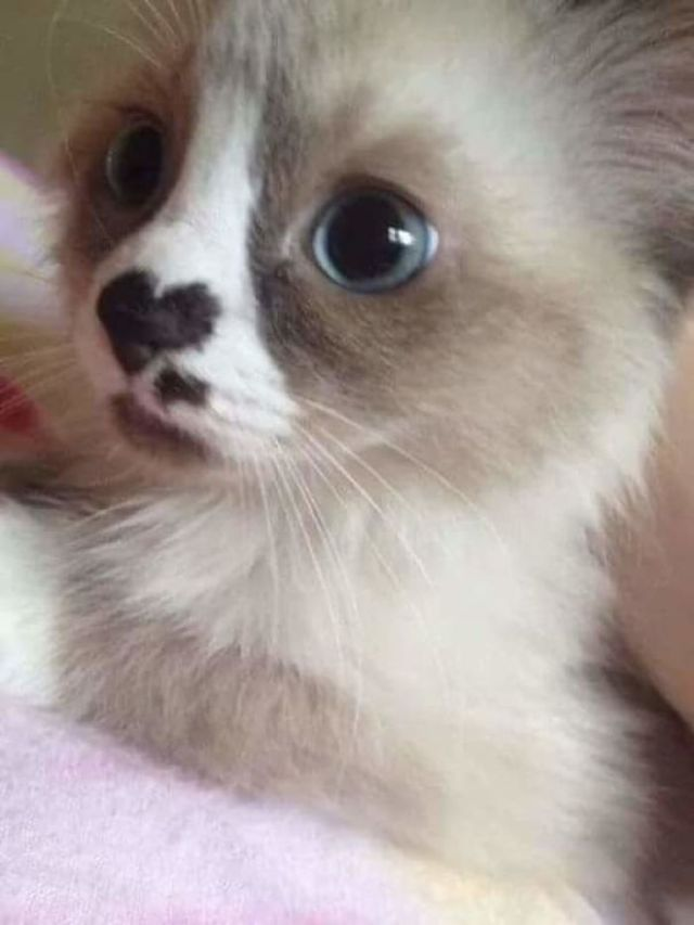 This Kitten Has A Heart On His Nose