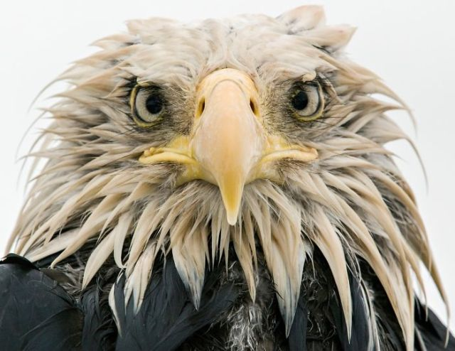 Bold Eagle By Klaus Nigge, Germany