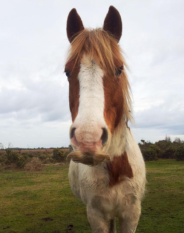 Cavallo con un baffuto reale