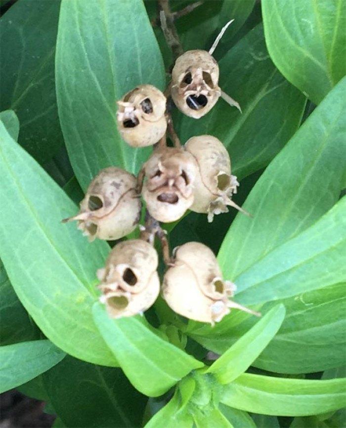 Husks Of Dead Flowers In My Garden. Look Like Skulls/Plague Masks