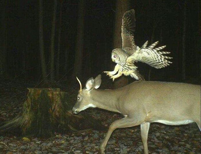 Deer Begins To Hate Owls In 3... 2...