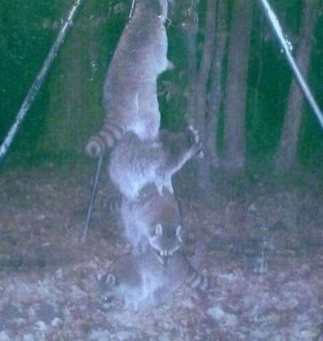 Puse el comedero para ciervos bien alto para que los mapaches no alcanzaran, pero...
