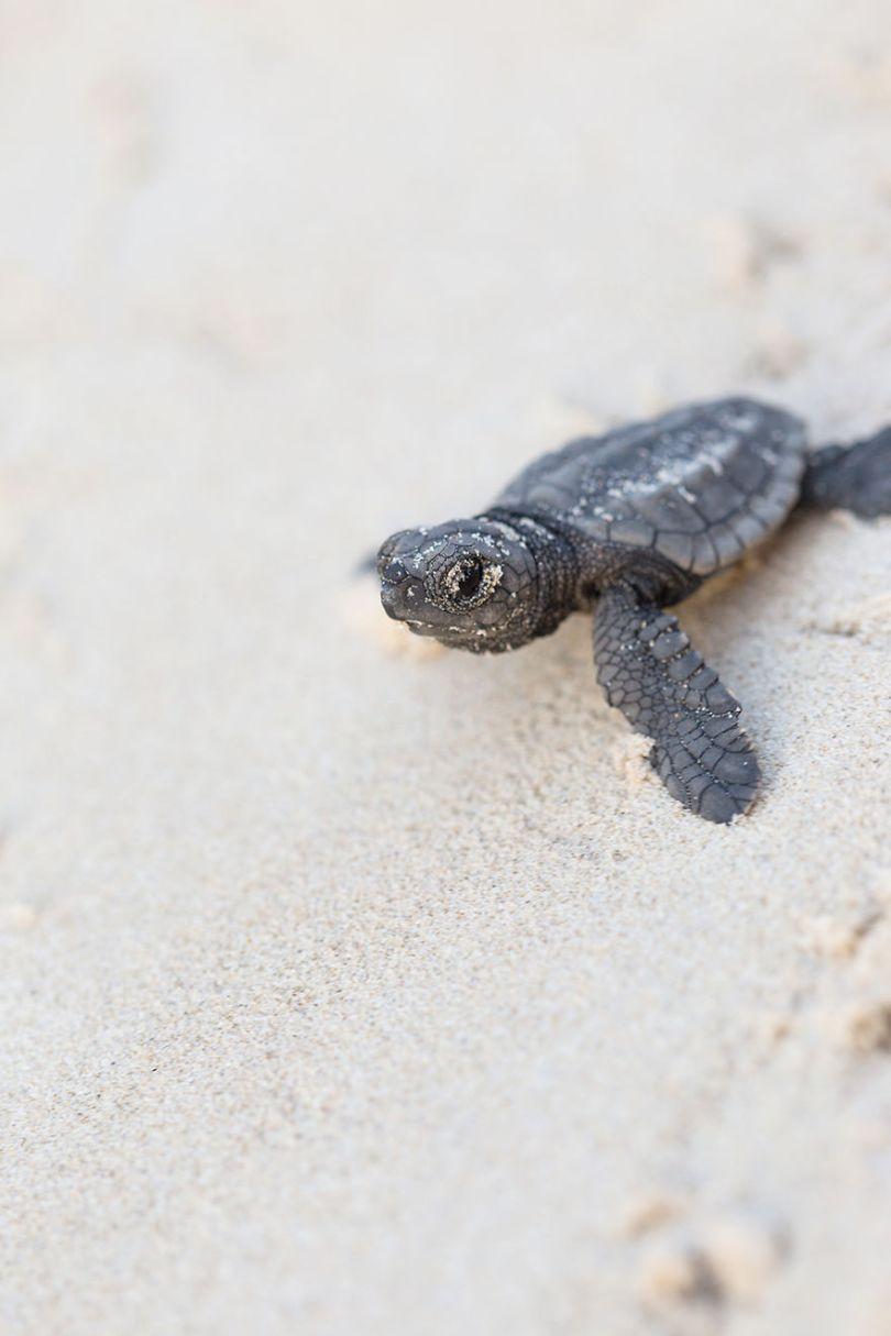 IMG 9757 Edit 59f08d092944b  880 - Homem especializa-se em fotografar resgate de tartarugas