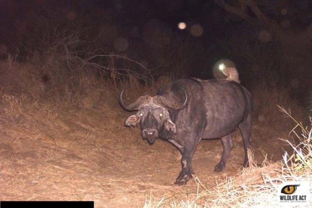Gato montés montando en un búfalo