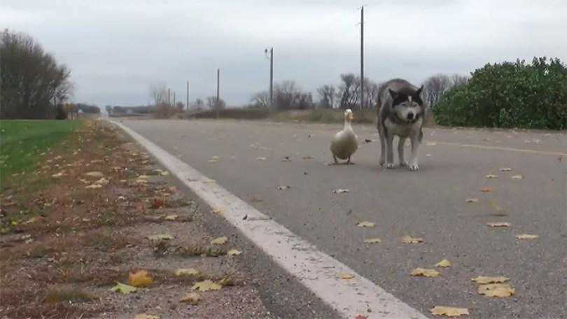 dog duck friendship max quackers minnesota 8 5a0951540a57f  700 - Cachorro virou amigo inseparável de pato - Você acredita?
