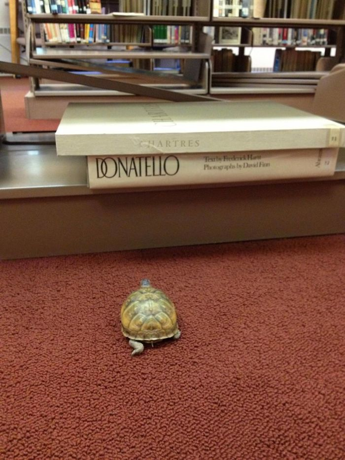 My Wife Is A High School Librarian And One Of Her Students Lost A Turtle In The Library Earlier In The Week. Today He Was Found. She Swears This Picture Wasn't Staged. Is This Awesome Or Is My Wife A Liar?