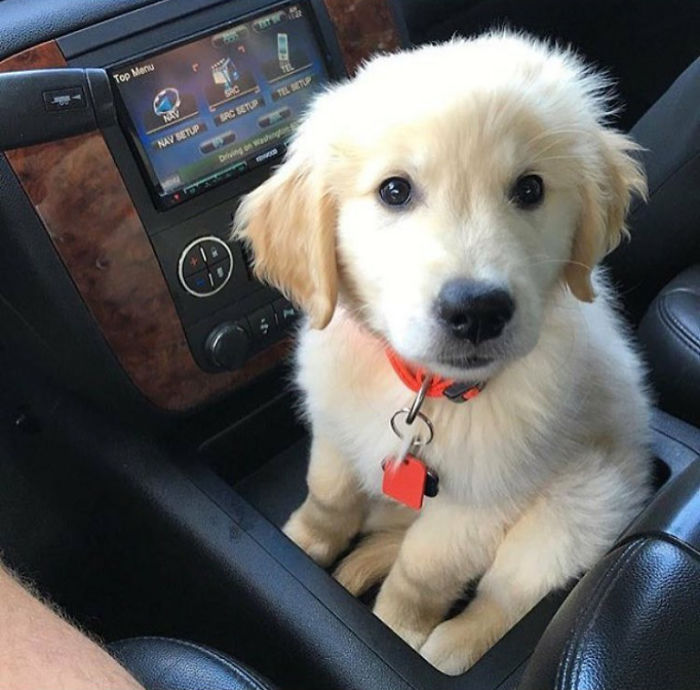 Golden Puppy Sitting In The Pup Holder