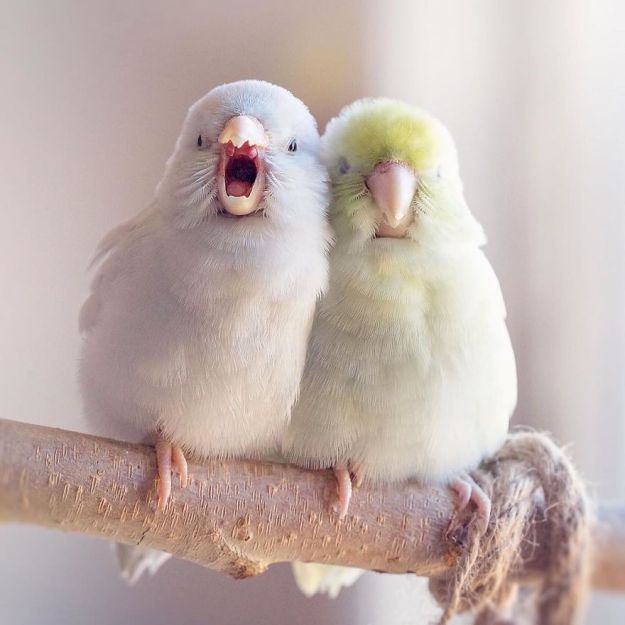 A-Storybook-Love-Between-Pastel-Parrotlets-5a83f7ce70ee3__880 I Document A Storybook Love Between My Pastel Parrotlets, And The Result Will Melt Your Heart Design Random