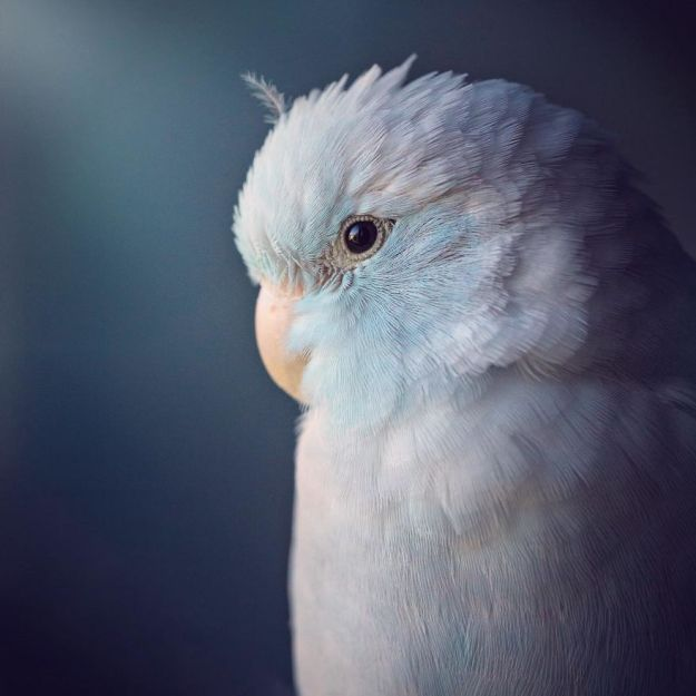 A-Storybook-Love-Between-Pastel-Parrotlets-5a83f8c49aea0__880 I Document A Storybook Love Between My Pastel Parrotlets, And The Result Will Melt Your Heart Design Random