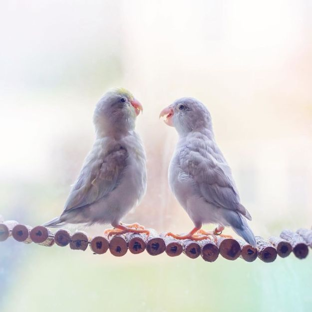 A-Storybook-Love-Between-Pastel-Parrotlets-5a83f998329b6__880 I Document A Storybook Love Between My Pastel Parrotlets, And The Result Will Melt Your Heart Design Random
