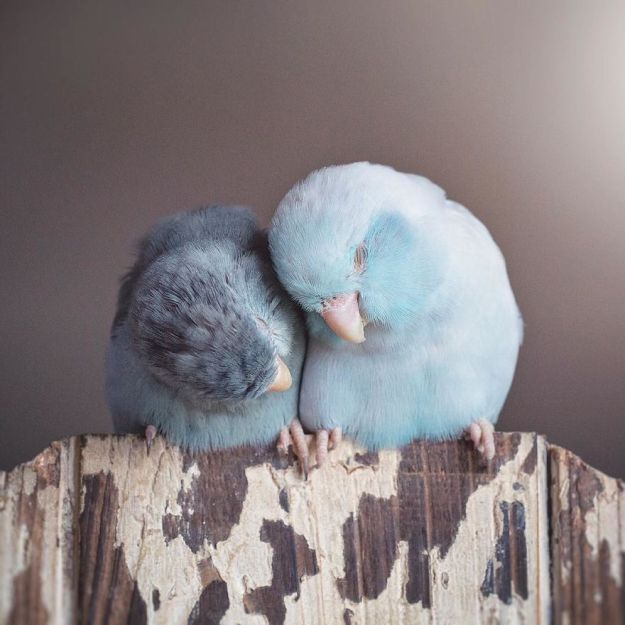 A-Storybook-Love-Between-Pastel-Parrotlets-5a83fa80d04af__880 I Document A Storybook Love Between My Pastel Parrotlets, And The Result Will Melt Your Heart Design Random