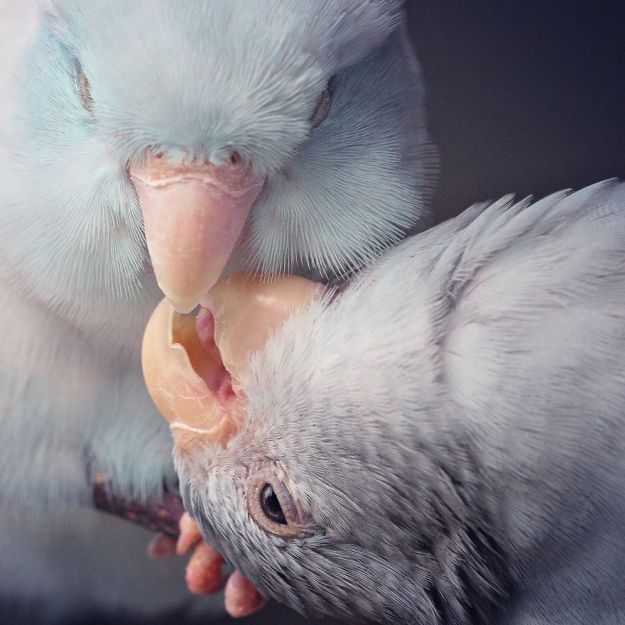 Z1A0635-Edit-Edit-copy-5a832b40b6a1d__880 I Document A Storybook Love Between My Pastel Parrotlets, And The Result Will Melt Your Heart Design Random