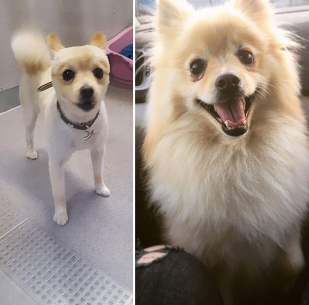 A Year Ago I Adopted This Shaved Boy, Now He's A Happy Fluffer Boy