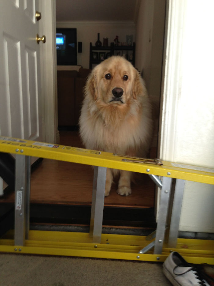My Golden Retriever Is Too Scared To Jump This Ladder That Is Half The Size Of Him