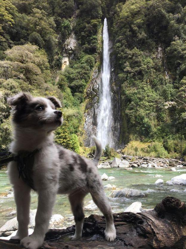 5a9fafa957576_dbqmzd8jt5tz__700 20+ Reasons Why Australian Shepherds Are The Best Dogs Design Random